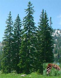 Idaho Flag White Pines